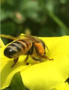 Bees: Honeybee collecting pollen