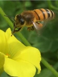 Bees: Forager Honeybee
