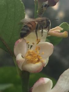 Bees: Forager Honeybee Nappnig