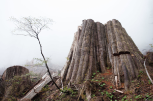 Ancient Forests destroyed - Ransacking Nature