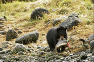 Black bear cub feasting on salmon