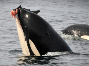 Orca eating a large chinook