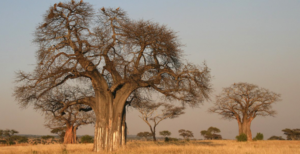 Silk Road to Hell - Climate wiping out baobabs