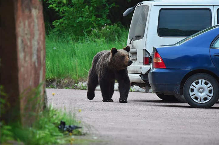 Bear walking in the street - Hell-fire