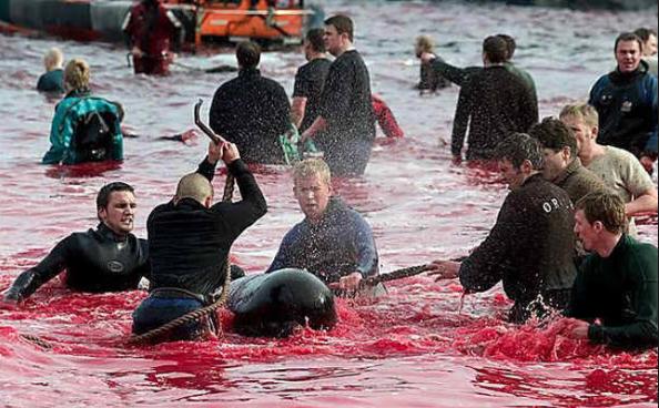 Slaughtering Whales - Faroe Islands Whale Bloodbath