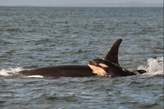 Salish Sea Orcas - Scarlet