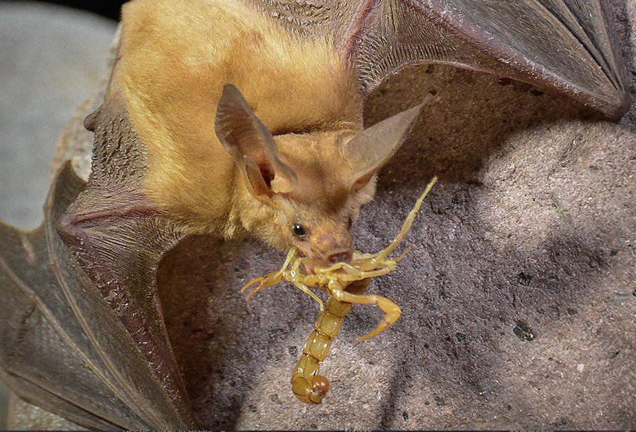 Bats - bat eating scorpion