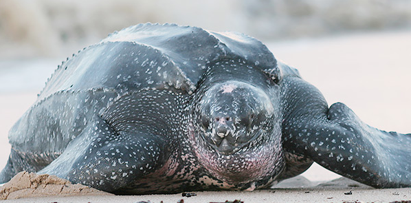 Climate - Leatherback Sea Turtle