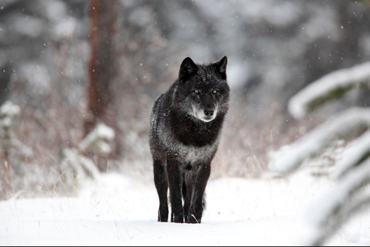 Wolves - Black Wolf