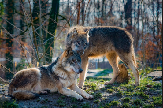 Wolves - lifelong mates