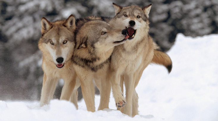 Wolves socializing