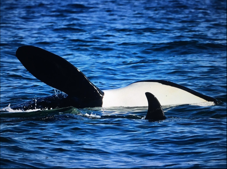 Starving Orcas - J17, a grandmother - wasting away