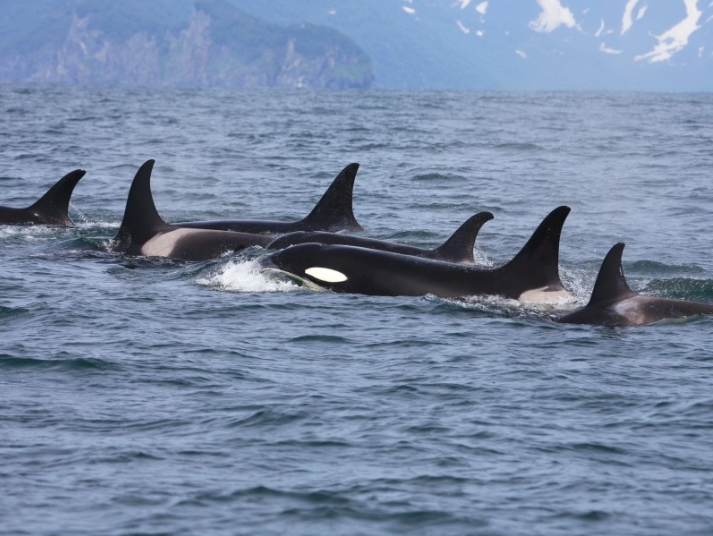 orcas attacking great white